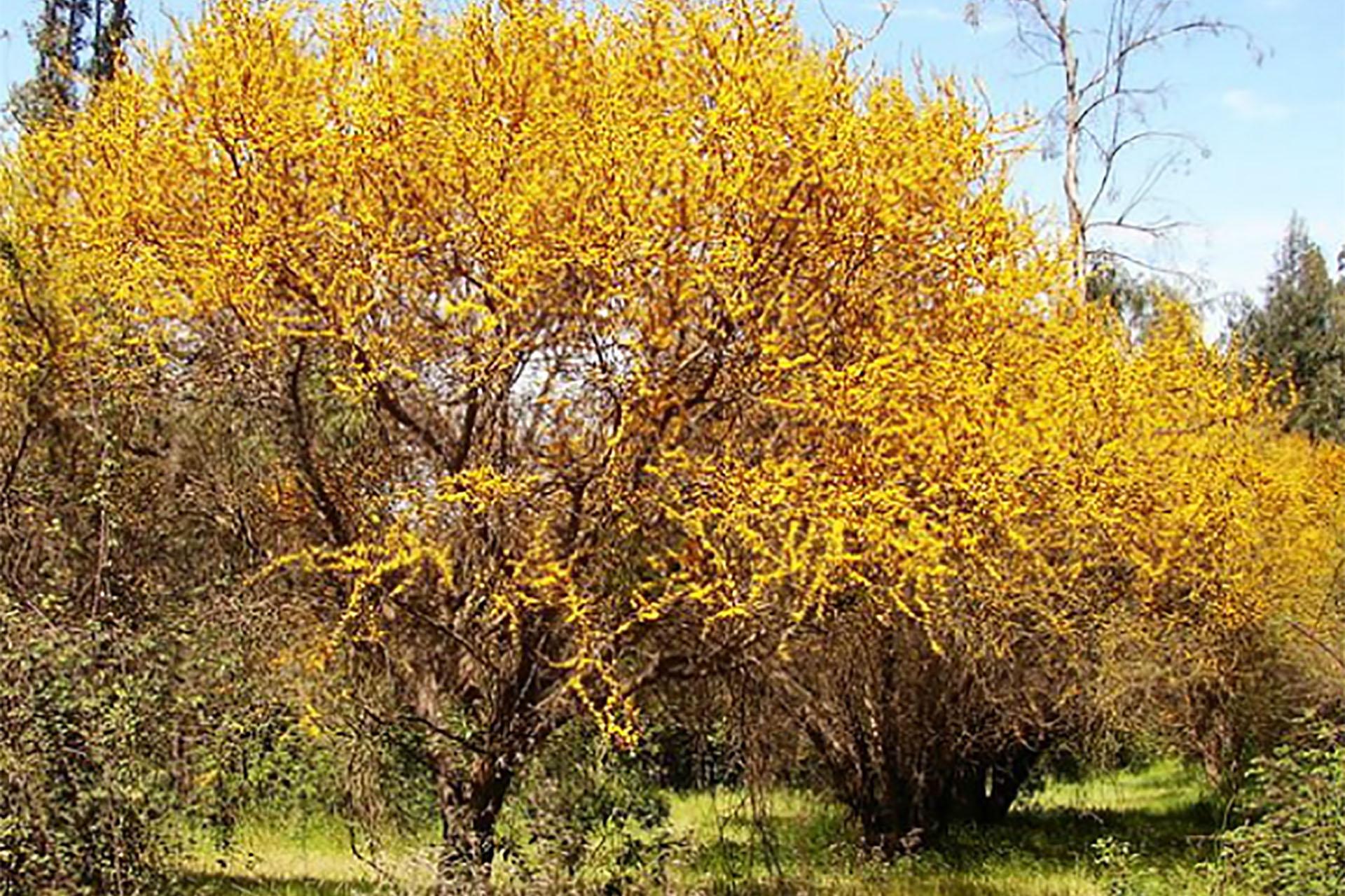 El Espinillo fue electo como el árbol entrerriano